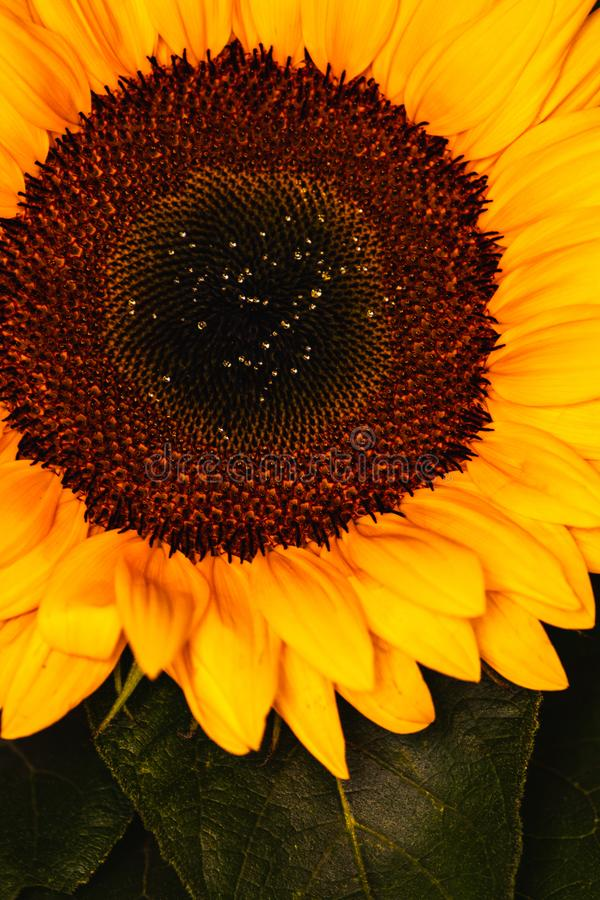Uitstekende zonnebloementextuur stock afbeelding