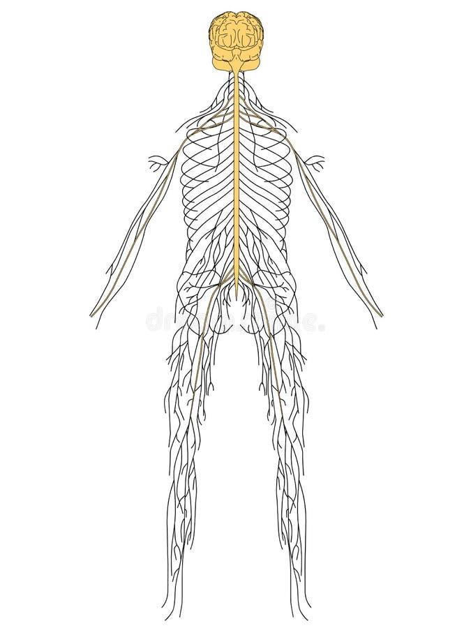 układ nerwowy ilustracji