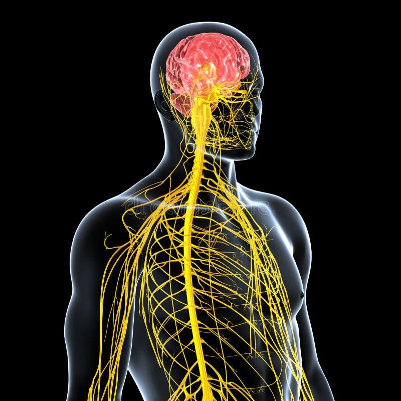 układ nerwowy męski frontowy boczny widok royalty ilustracja