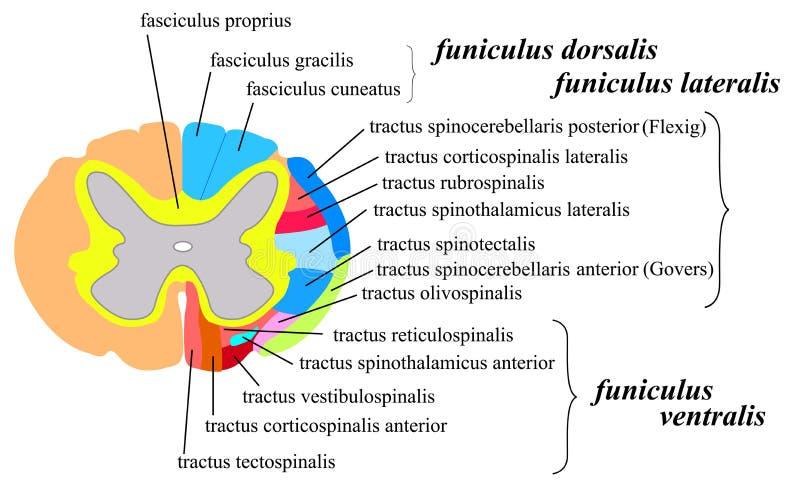 Układ nerwowy: rdzeń kręgowy biała sprawa ilustracji