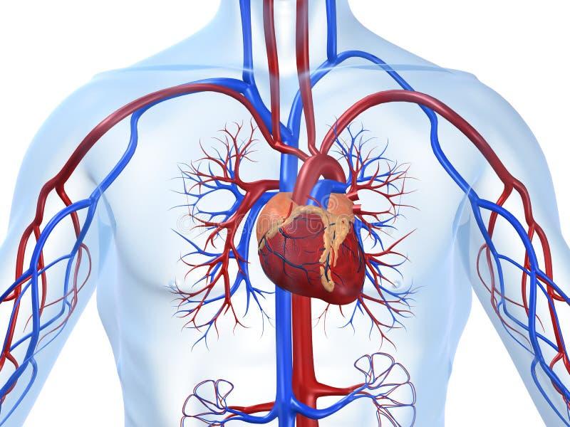 układ sercowo - naczyniowe ilustracji