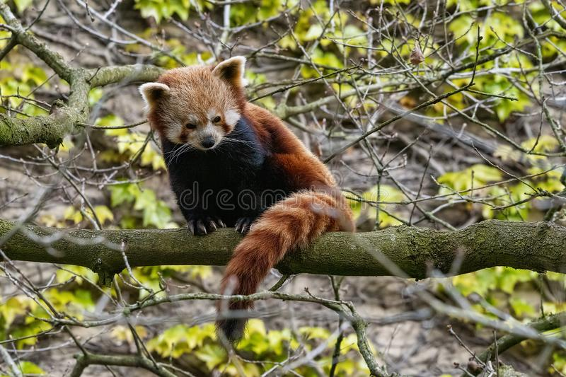 Red Panda perched up in a tree. UK, Bristol - April 2019: Red Panda balanced up in a tree royalty free stock images