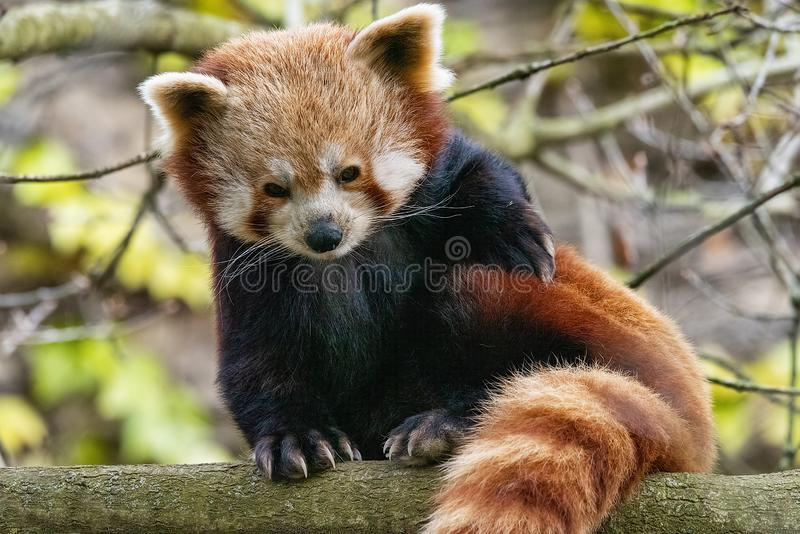 Red Panda perched up in a tree. UK, Bristol - April 2019: Red Panda perched up in a tree stock image