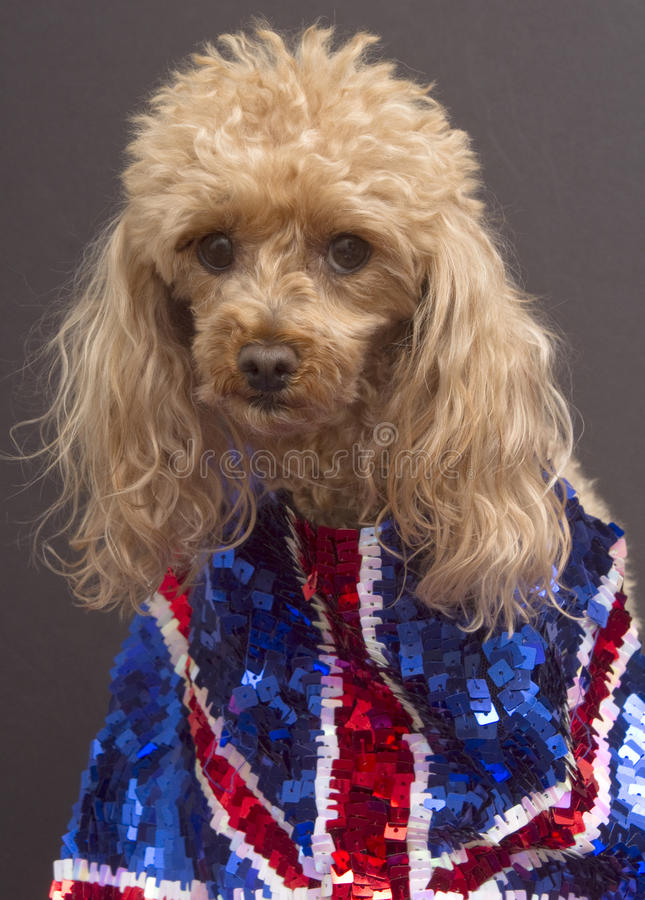 Download UK Fan stock image. Image of poodle, cute, isolated, flag - 17253099