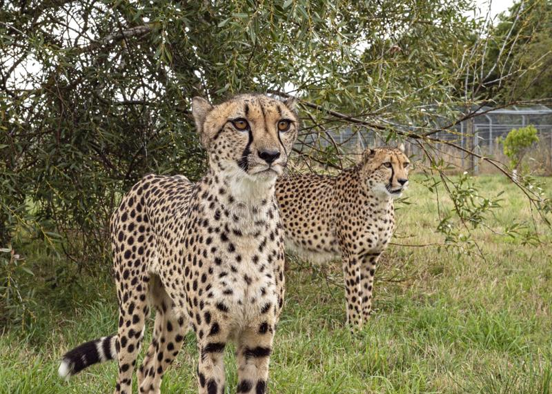 Cheetah in captivity, standing, breeding pair. UK, Hamerton Zoo - 17 Aug 2018: Cheetah in captivity, standing, breeding pair royalty free stock images