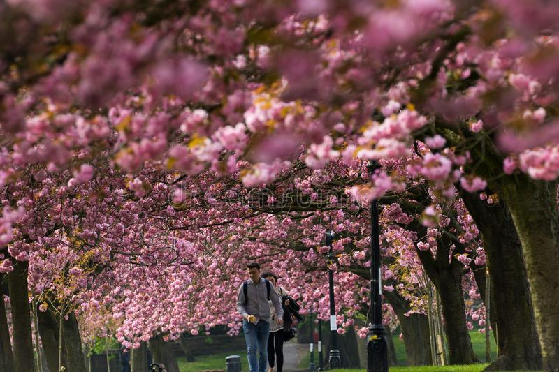 UK Pink Cherry Blossom in early spring. royalty free stock photos