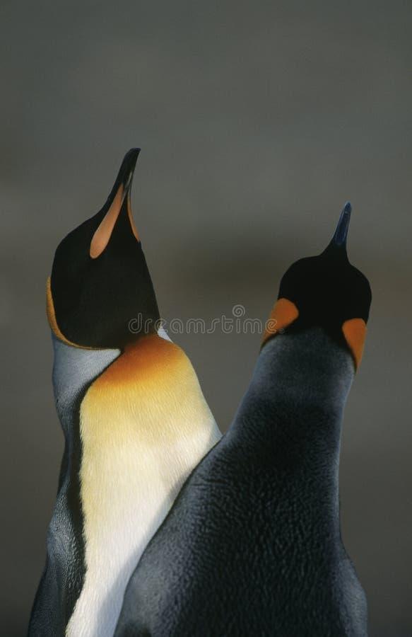UK Południowego Gruzja wyspy dwa królewiątka pingwiny robi kotelnia tana zakończeniu up fotografia royalty free