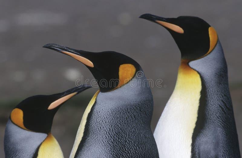 UK Południowego Gruzja wyspy trzy królewiątka pingwiny zamykają up obrazy stock
