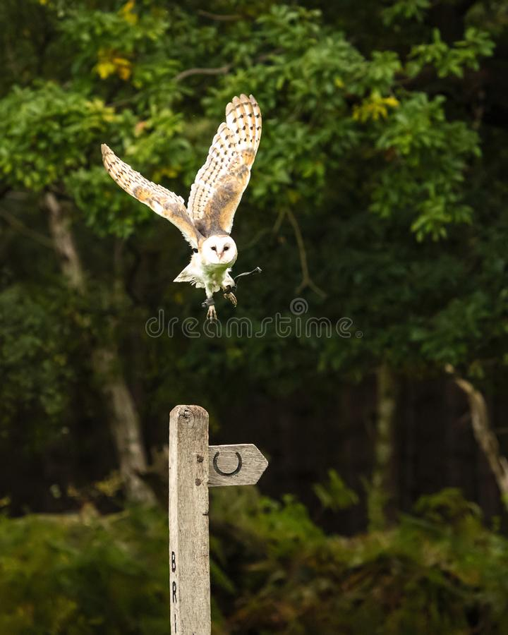 Barn Owl taking off from a bridal path post royalty free stock images