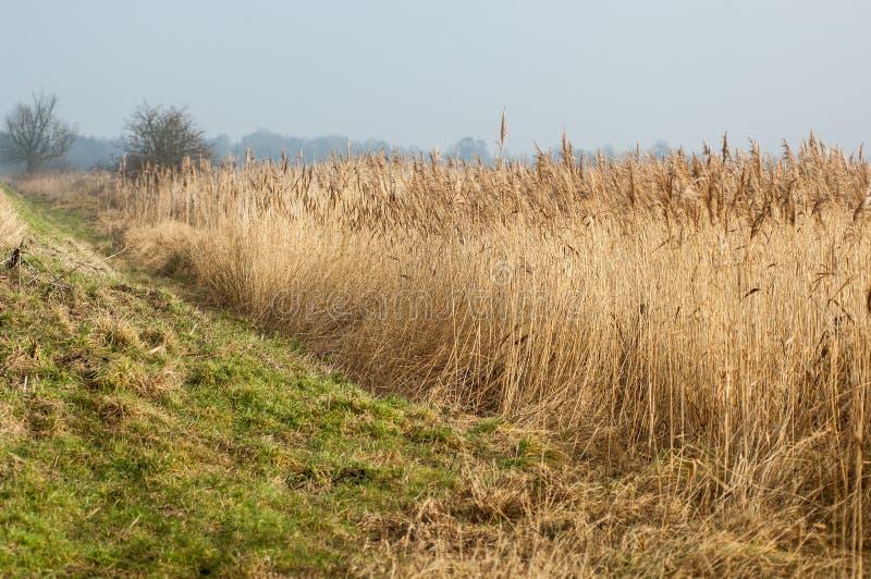 UK siedliska reedbed i obszaru trawiastego interfejs zdjęcie royalty free