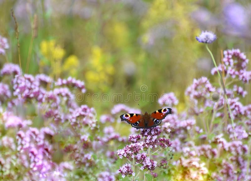 Wild Flower Meadow with a Peacock Butterfly. A UK Summer wild flower meadow with numerous wild flowers and a peacock butterfly royalty free stock photo