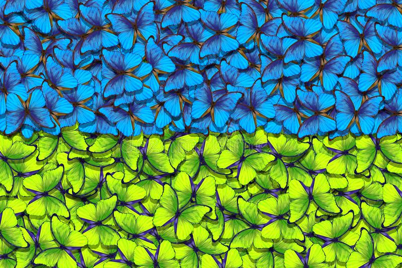 Ukrainian flag. Independence Day of Ukraine. Blue and yellow butterflies morpho texture background. royalty free stock photo