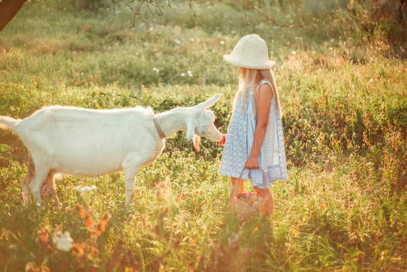 Ukrainian girl on a farm feeds a goat. Cute little girl with long blonde hair at sunny sunset spends time with a pet. Cute baby 6. Years old caring for an stock images