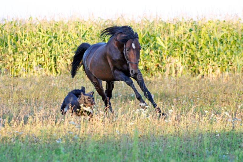 Ukrainian Horse Breed Horses Stock Photo