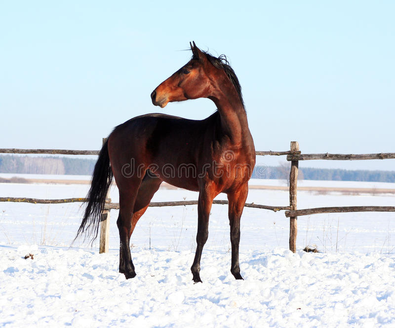 Ukrainian horse breed horses stock photography