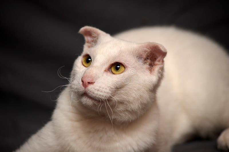 Download Ukrainian Levkoy stock photo. Image of bred, kitten, bald - 25995366