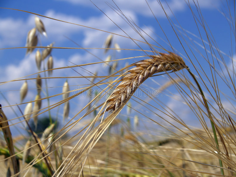 Download Ukrainian Wheat stock photo. Image of wheat, meek, grain - 1400934