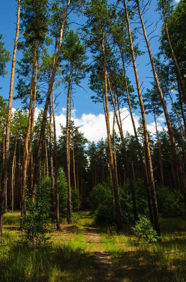 Ukrainischer Wald stockfotografie