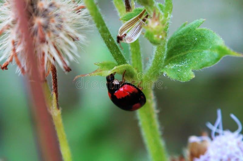 ukryć ladybird mały liści mocy fotografia stock