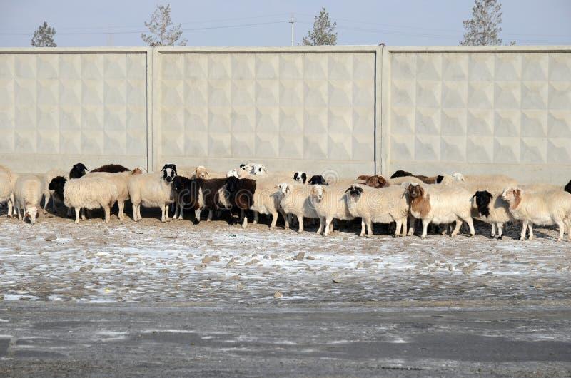 Ulaanbaatar, Mongolia - Dec, 03 2015: Flock of sheep presses close to the concrete fence stock photo