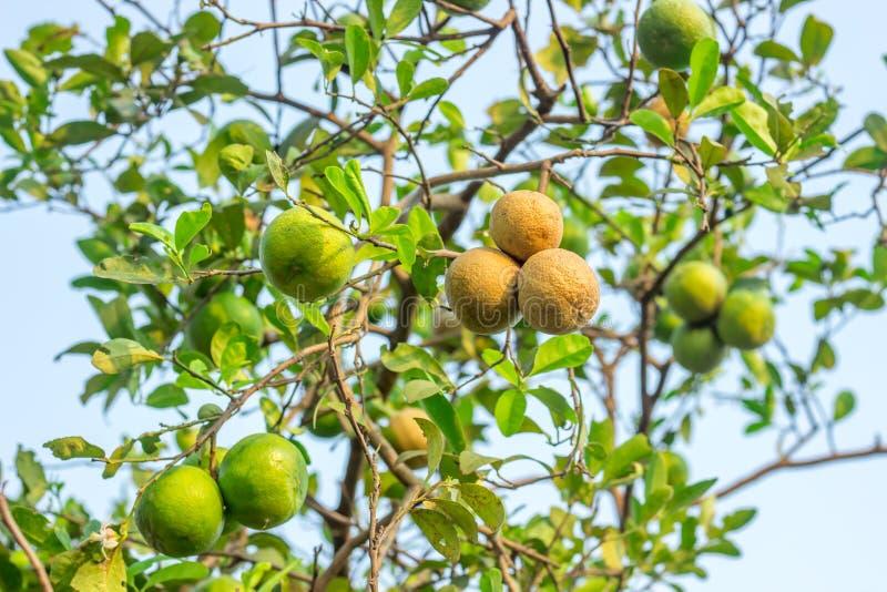 Ulcère d'agrume sur le citron photos libres de droits