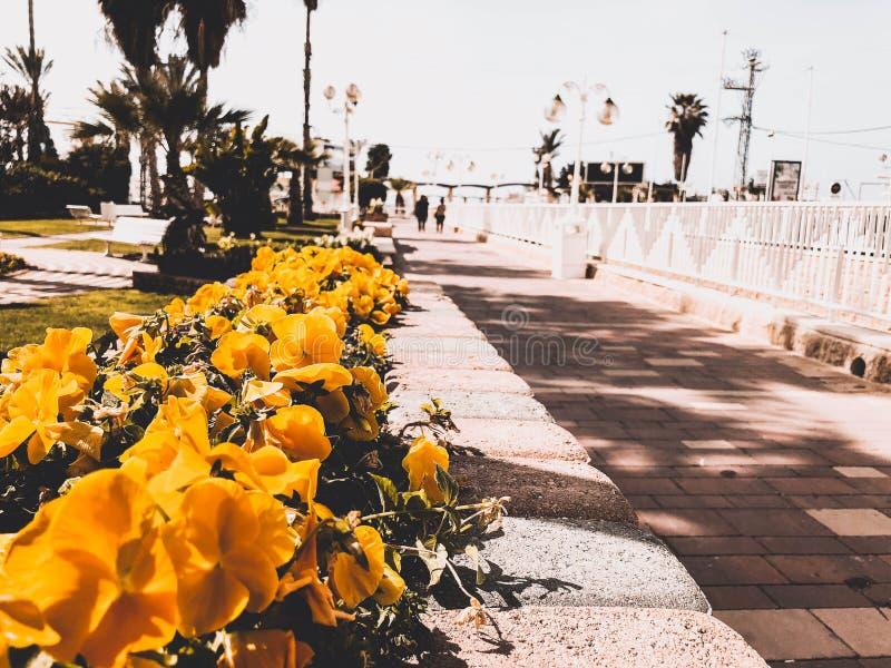 Ulica z kolorem żółtym kwitnie w centrum Nahariya, Izrael obraz royalty free