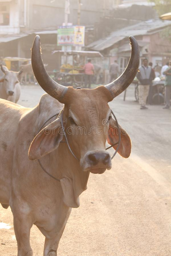 Uliczna fotografii krowa zdjęcie stock