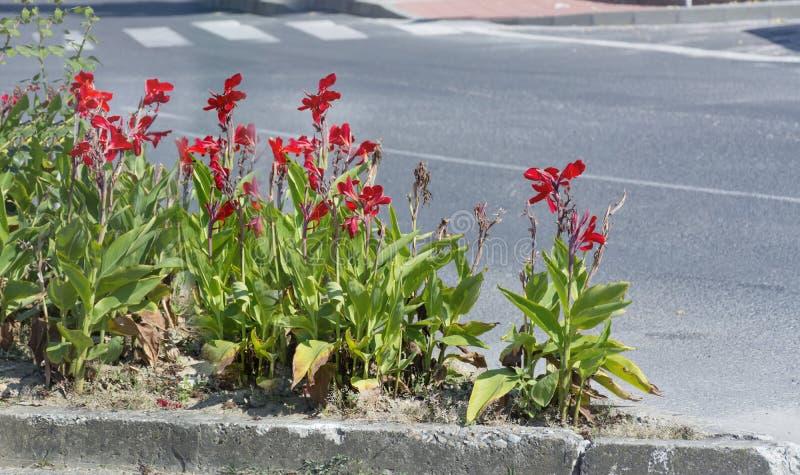 Uliczni dekoracyjni czerwoni irysy kwitną w Sofia, Bułgaria zdjęcie stock