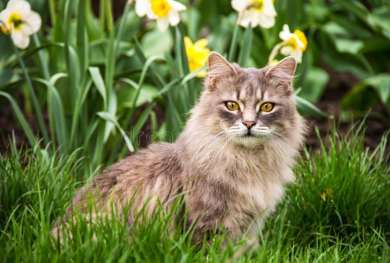 Uliczny kot w kwiatu łóżku Szary puszysty kot siedzi w zielonej trawie zdjęcie stock