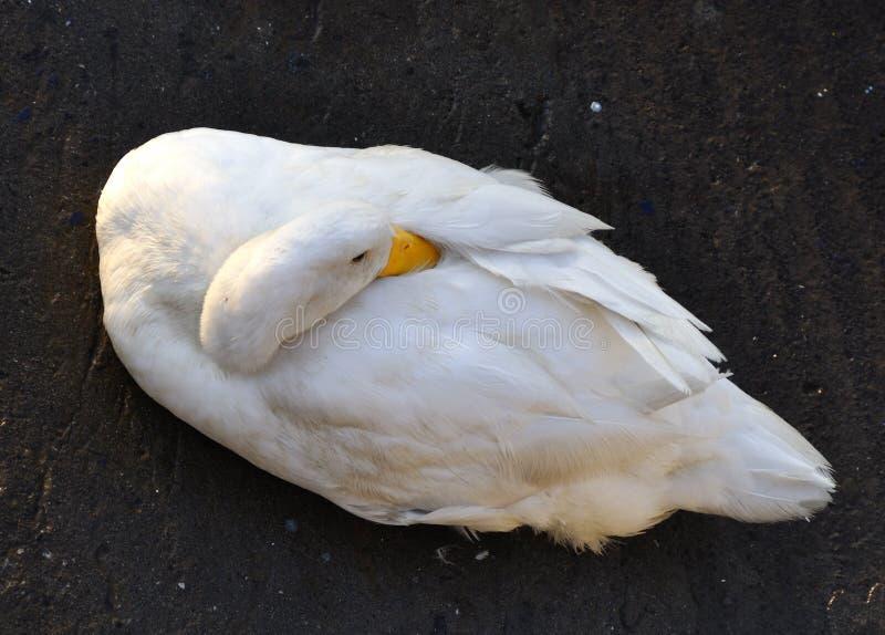 在波尔图Ulisse Ognina卡塔尼亚taly西西里-创造性的共同性的鸭子由gnuckx 免版税库存照片