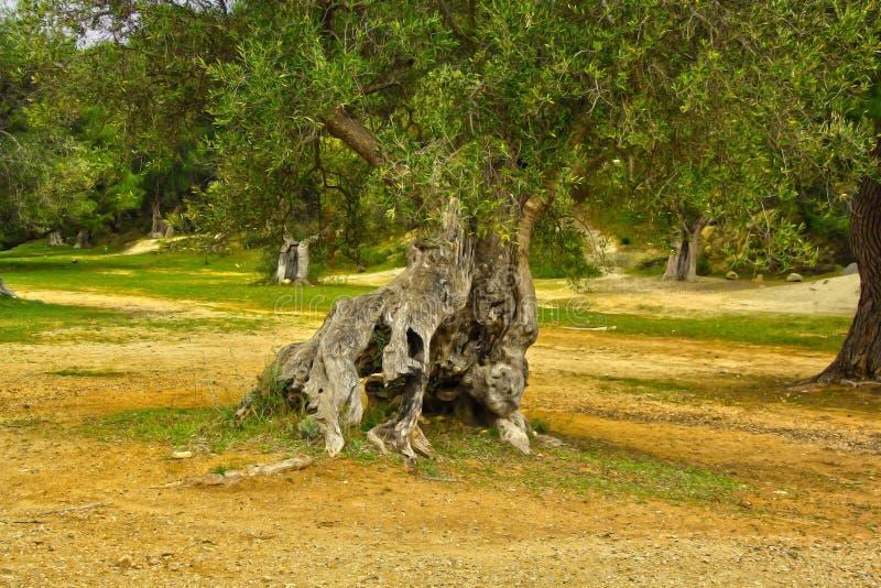 Ulivo laïque en Puglia image libre de droits