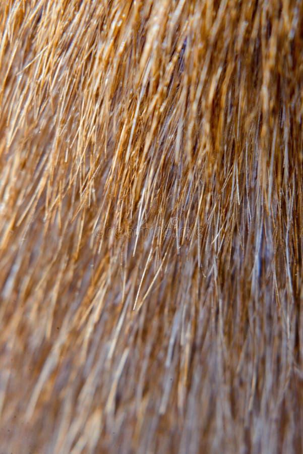 Ull av en klippt cockerspaniel Från nära område arkivfoto