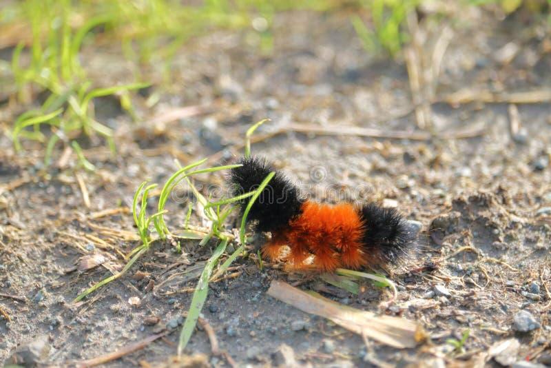 Ullig björn Caterpillar som konsumerar gräs arkivfoto