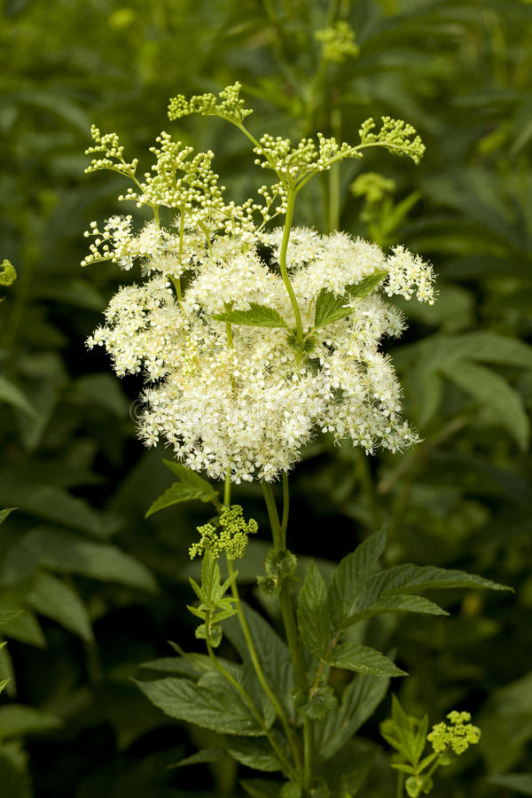 Ulmaria de Filipendula photo stock