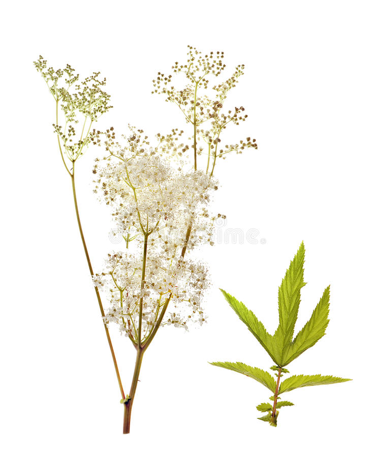Ulmaria de Filipendula, meadowsweet foto de stock royalty free