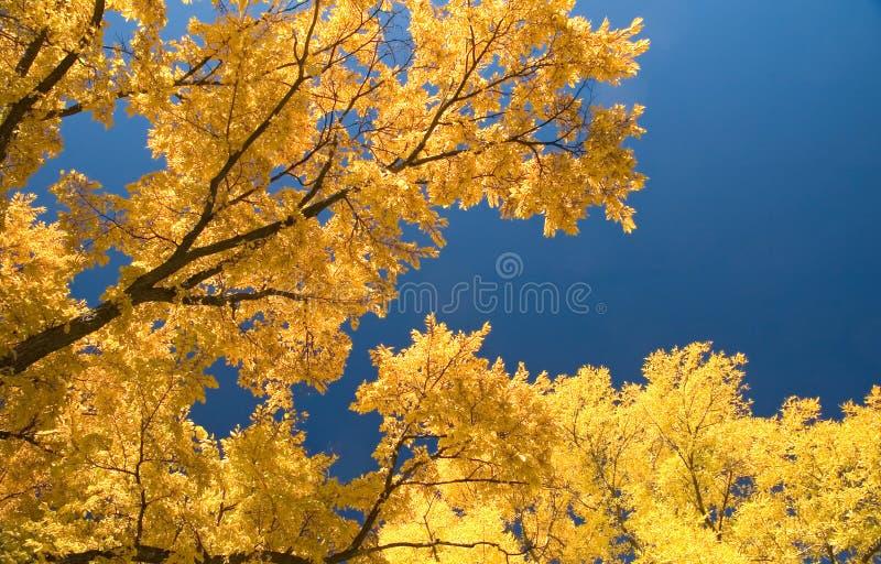 Ulmebäume in Herbst 2 stockfotografie