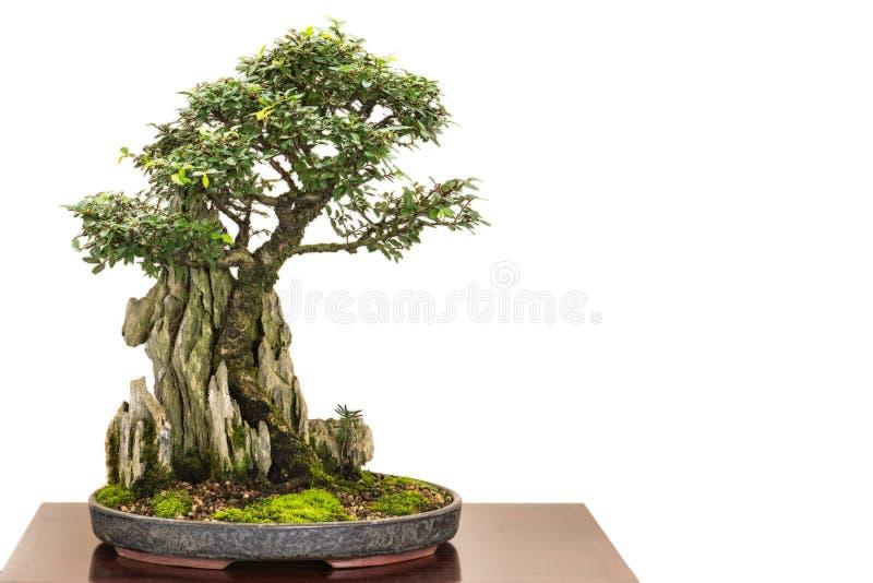 Ulmusparvifolia för kinesisk alm som bonsaiträd fotografering för bildbyråer