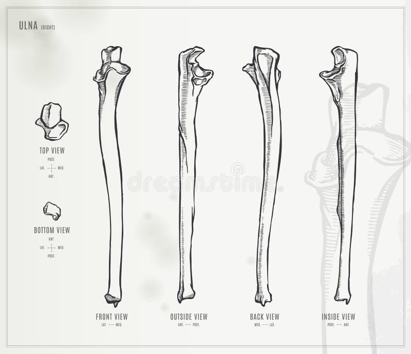 Ulna vektor abbildung. Illustration von knochen, skelett - 56053849