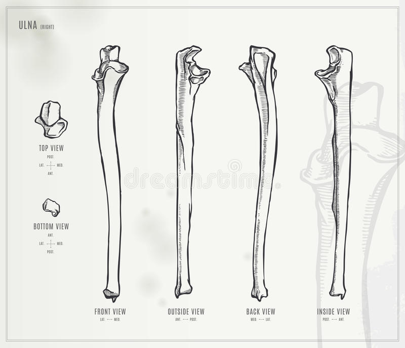 Ulna Stock Vector Illustration Of Drawing Styloid Artwork 56053849