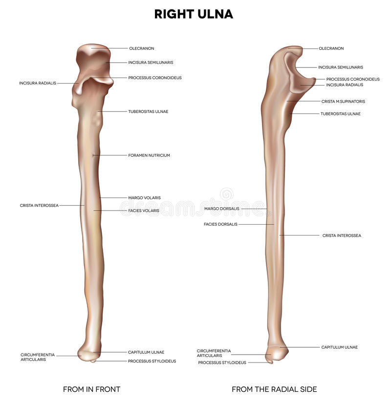 Ulna- From Front And Radial Side Stock Vector - Illustration of ...