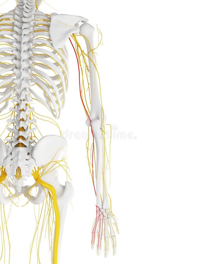 Ulnar nerw ilustracji