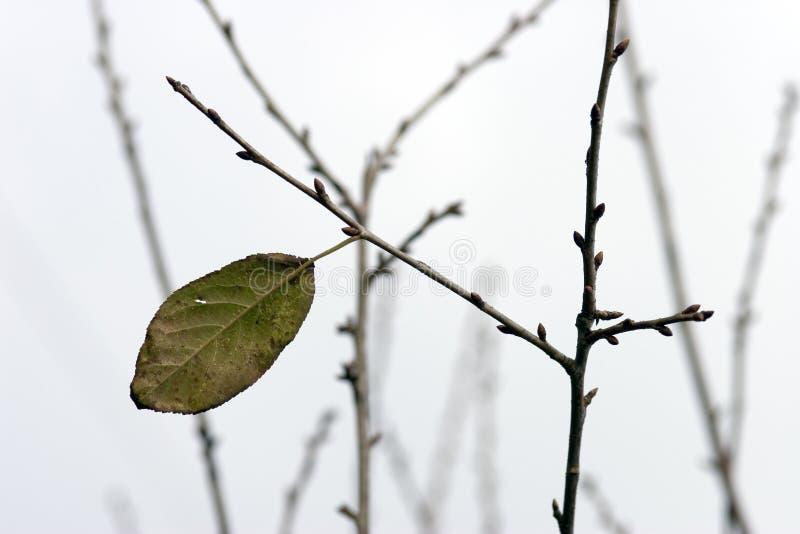 Ultima foglia che appende su un ramo Cielo grigio di inverno fotografia stock