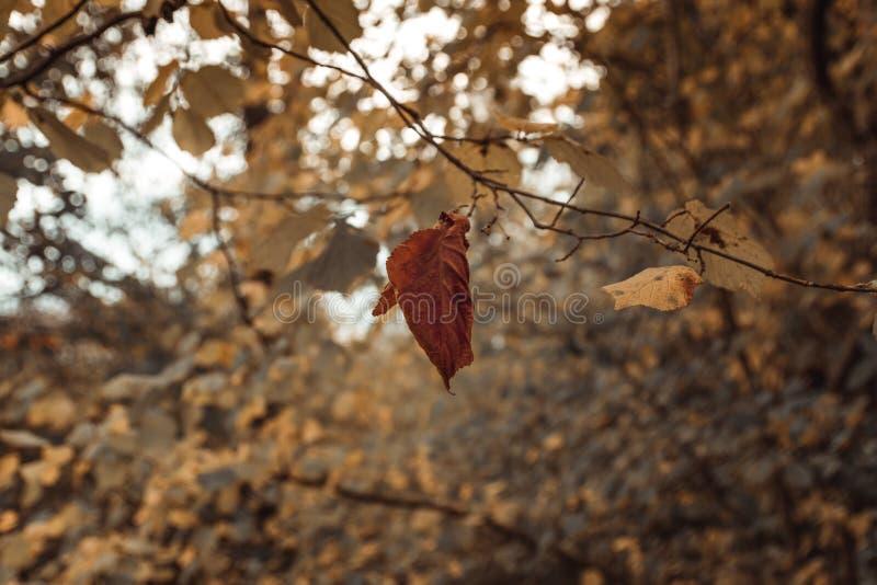 Ultima foglia marrone della betulla che appende sul ramo davanti a variopinto fotografia stock