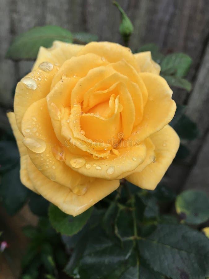 Ultima rosa di estate nella pioggia fotografia stock libera da diritti