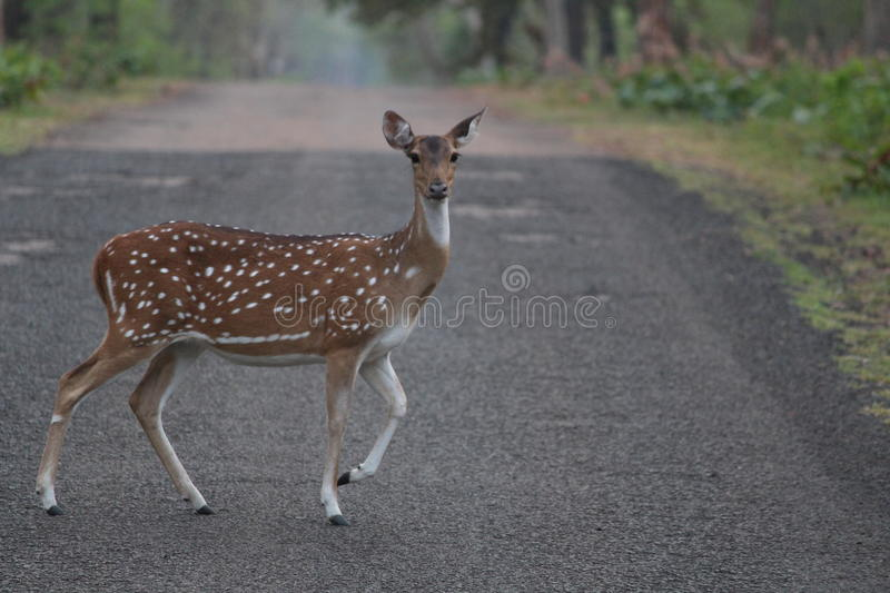 The Ultimate Poser. Driving through the forests, a spotted deer was crossing the road and suddenly it stopped midway through its steps and posed royalty free stock photography