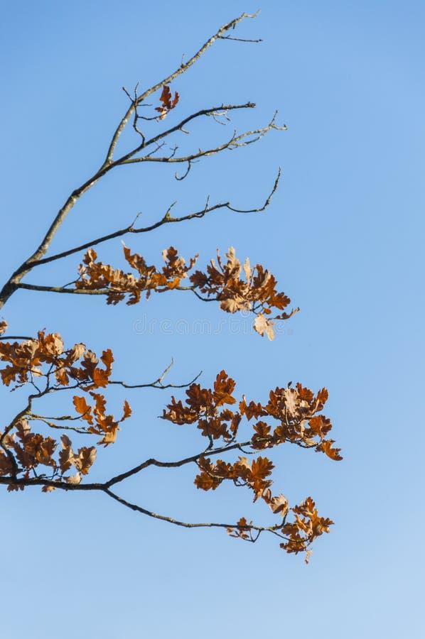 Ultime foglie della quercia su fondo sleale blu immagini stock libere da diritti
