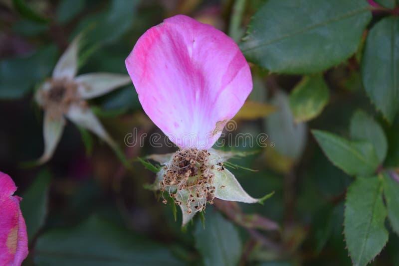 Ultimo dei petali rosa brillanti di questo germoglio rosa fotografia stock