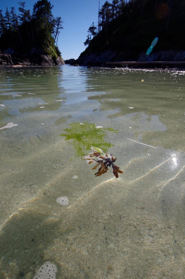 Ultra brede die hoek van zeewier wordt geschoten die boven het zand op vloed drijven, centrale kust van Brits Colombia stock afbeelding