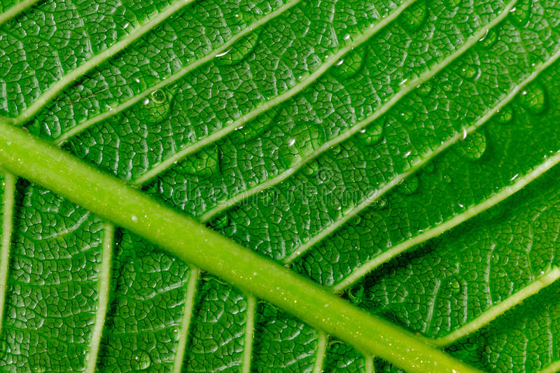 Ultra close-up shot showing the underside of a large tropical le. Af with water droplets hanging on and repelling against the coat of wax on the leaf royalty free stock photography