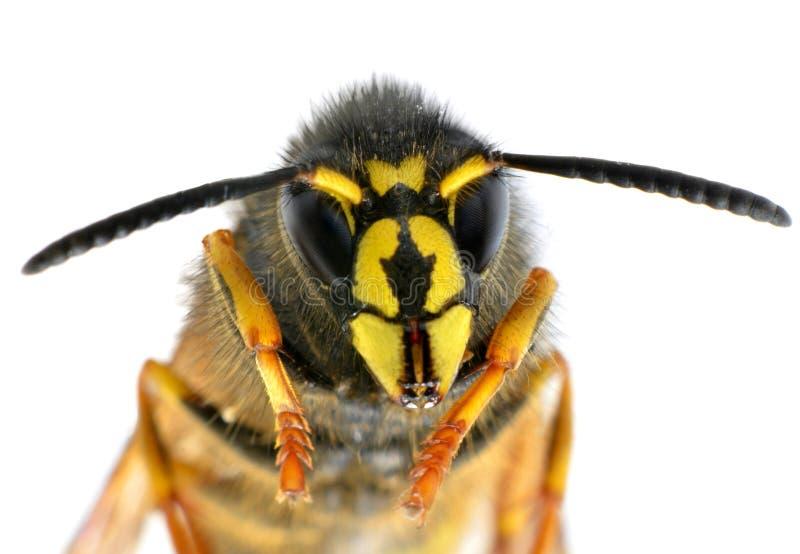 Ultra instruction-macro sur la tête d'abeille avec Antenaas photo stock